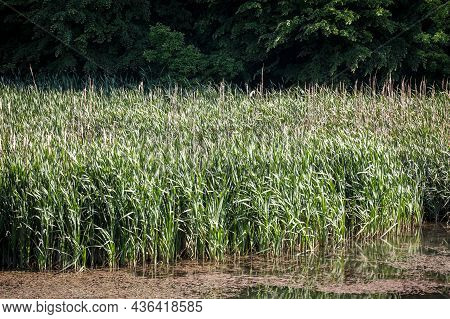 Selective Blur On A Bunch Of Common Reed, Green, Also Called Phragmites, In A Wetland Of Europe, In