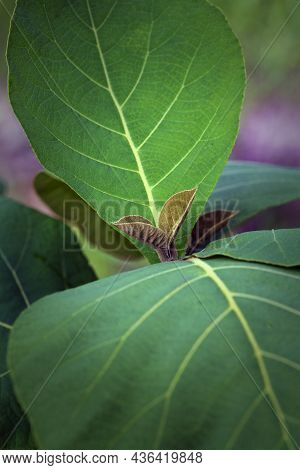 New Leaf Of Teak Tree Show Growth That Will Continue To Be Vigorous Tree In Forest.