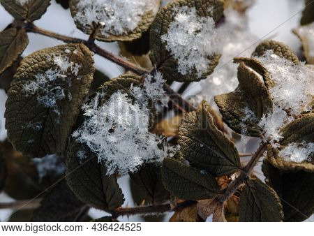 Close-up Of Large Snow Crystals On A Frozen Rosehip Leaf. Winter Frosty Sunny Day.