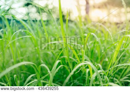 Fresh Lush Green Grass With Selective Focusing Water Dew Drops In Morning Sunrise, Freshness Greener