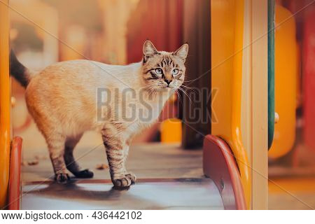 Cute Tabby Thai Cat Walks Around The Bright Children's Playground And Explores The Slide In The Autu
