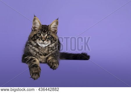 Cool Tabby Maine Coon Cat Kitten, Laying Down Facing Front. Looking Towards Camera. Isolated On A Pu