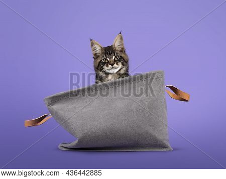 Cool Tabby Maine Coon Cat Kitten, Sitting In Grey Velvelt Basket. Looking Over Edge Towards Camera.