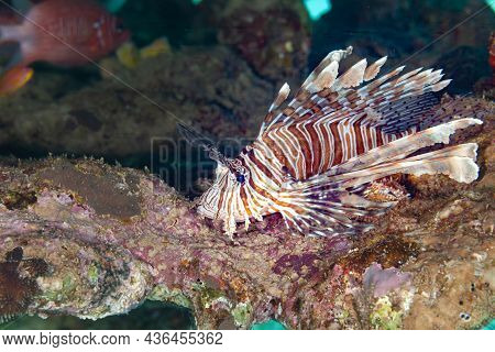 Fish Of The Red Sea. Butterfly Cod (redsea Lionfish)