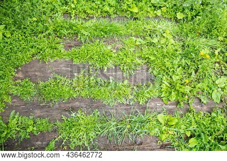 Background From Grass Breaking Through Wooden Old Boards. Template, Blank, Texture. Place For Text.