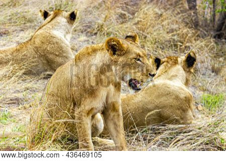 Lions At Safari In Mpumalanga Kruger National Park South Africa.