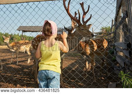 A Small Child Watches Graceful Deer Through The Mesh Fence Of A Farm To Restore The Population Of Ra