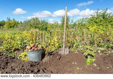 Harvested Organic Potatoes In Metal Bucket And Shovel At The Vegetable Garden In Sunny Day. Potato H