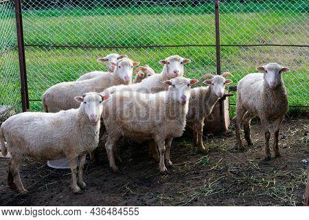Lots Of Sheep Looking At Camera. Farming Domestic Animal At Countryside In Paddock. Green Grass At S