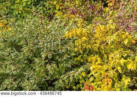 Dogwood Shrub Background. Yellow Autumn Hedge. Seasonal Garden. Variegated Foliage Ornamental Plant.