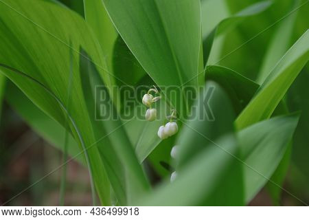 Blooming Forest Lilies Of The Valley In A Spring Day.