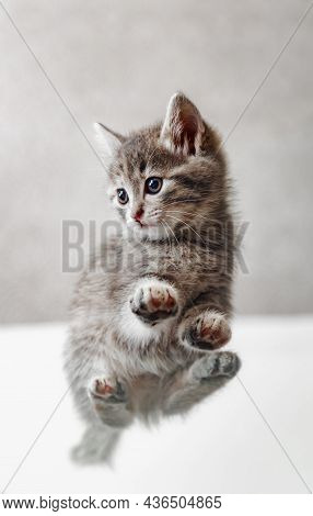 Tabby Kitten On White Background Bottom View. Cat Paws And Tummy View From Below. Beautiful Playful