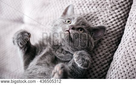 Gray British Kitten Lies On Gray Soft Sofa . Cat Portrait With Paws Rest Napping On Bed. Comfortable