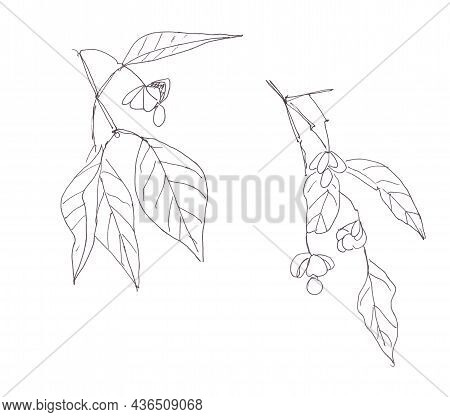 Set Of Euonymus Ornamental Shrubs With Fruits Graphic Line Drawing, Spindle Euonymus Europaeus , Med