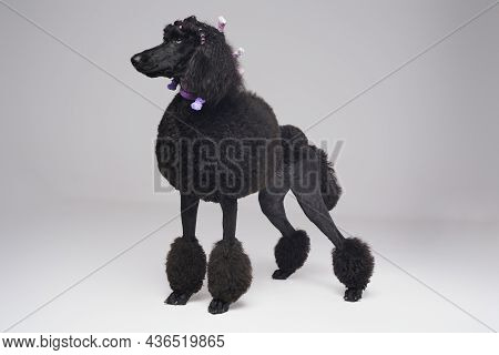 Black Furry Purebred Poodle Dog With Stylish Hairstyle