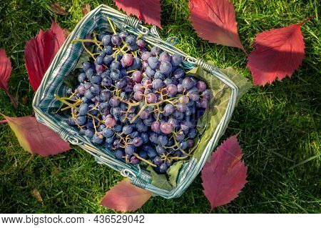 Basket With A Harvest Of Ripe Juicy Grapes. Grapes Are Lying In A Basket On A Background Of Green Gr