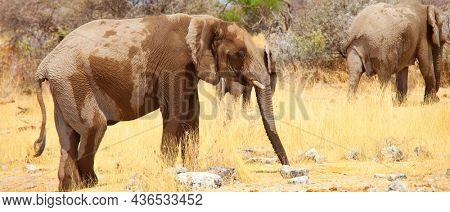 African Elephant, Loxodonta africana, in the savannah, Namibia, Africa