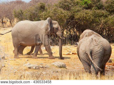 African Elephant, Loxodonta africana in the savannah, Namibia, Africa