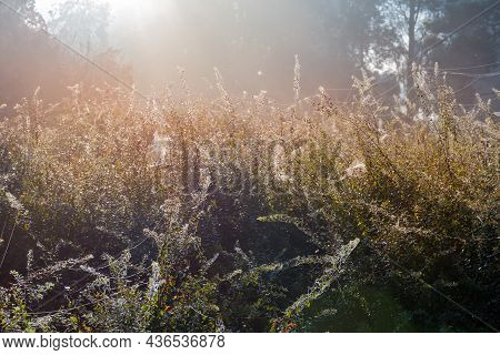 Section Of The Autumn Park With Shrubs, Entangled In Numerous Spider Web And Covered With Dew On A F