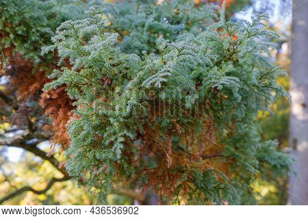 Branch Of Juniper Tree Covered With Morning Dew In Autumn Park On A Blurred Background, Close-up In