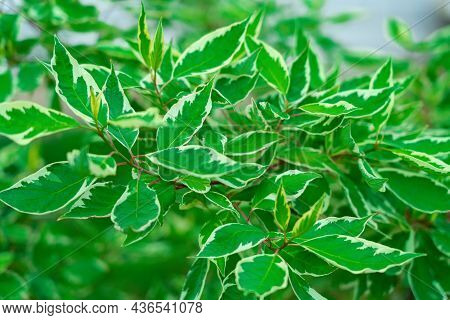 The Green Foliage Of The Shrub Deren Is White, A Plant Of The Dogwood Genus. Selective Focus