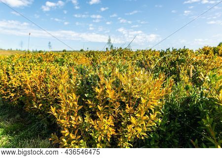 Beautiful Scenic Bright Landscape View Of Colorful Yellow Barberry Thunberg Bushes Growing Ornamenta