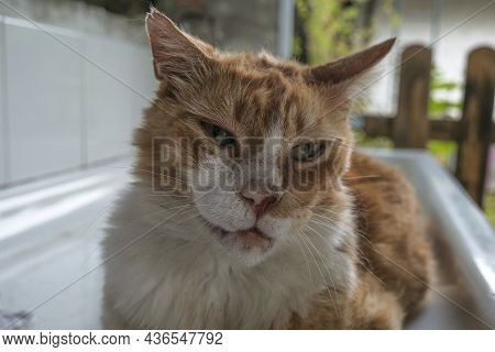 Portrait Of A Cat With Eyes Closed. Ginger Cat's Muzzle Close-up. Happy Cat's Muzzle. Domestic Pet C