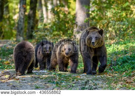Three Wild Brown Bear Cubs (ursus Arctos) With Mother In The Autumn Forest. Animal In Natural Habita