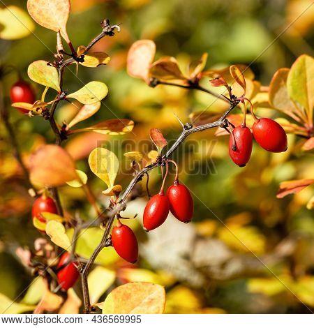Ripe And Red Barberries Berberis Thunbergii Atropurpurea In The Autumn Shrubs With Fruits Closeup