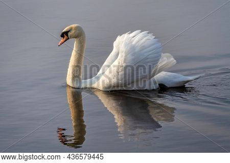 Beautiful white swan swimming in the lake