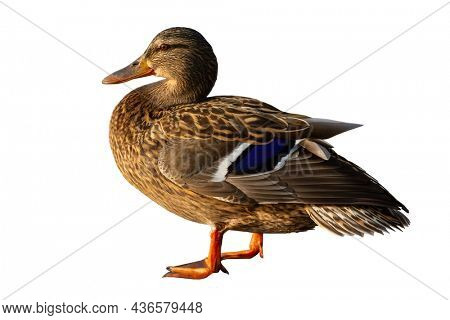 Brown duck isolated on white background