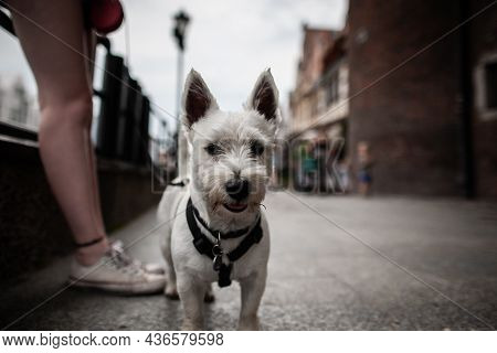 West Highland White Terrier Dog In Dog Harness Looking At Camera With Open Mouth And Tongue Out On A