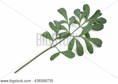 Common Rue Branch Isolated On White Background