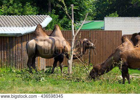 Wild Brown Camel In The Summertime. Herbivore Animal