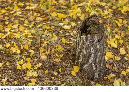 An Old Dried Birch Stump With A Half-core Pith Against A Background Of Fallen Leaves In Autumn.
