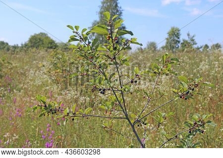 Branches Of Frangula Alnus With Black And Red Berries