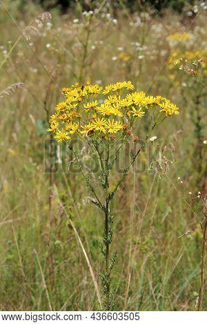 Yellow Senico Jacobaea Blossoming In Garden. Jacobaea Vulgaris Blooming In Field