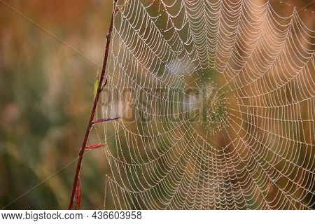 Plant Is Wrapped In Wet Web At Dawn. Water Droplets On Cobweb