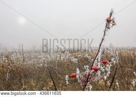 Foggy Frosty Morning In An Autumn Field And A Branch Of Rose Hips