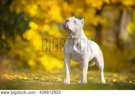 Funny White American Bully Dog Stands And Warily Looks Up, Front View. Puppy Obediently Executes The