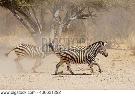 Alert plains zebras (Equus burchelli) running on dusty plains, South Africa