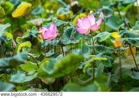 Beautiful Two Blooming Pink Lotus Flower In Lotus Pond, Bright Colour Under Sunlight In Morning.