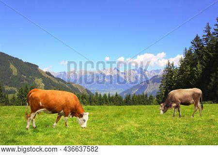 Two cows grazing in a mountain meadow in Alps mountains, Tirol, Austria. View of idyllic mountain scenery in Alps with green grass and red cow on sunny day. European mountain landscape