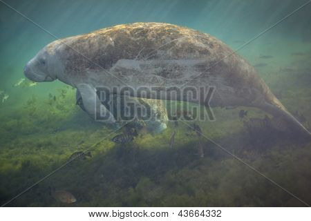 Manatees Afloat and Feeding