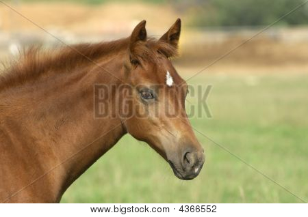 Horse In Green Field