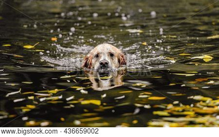 Golden retriever dog hunter chases in pond at autumn park. Pet doggy labrador swimming in lake with fallen yellow leaves and looking at camera