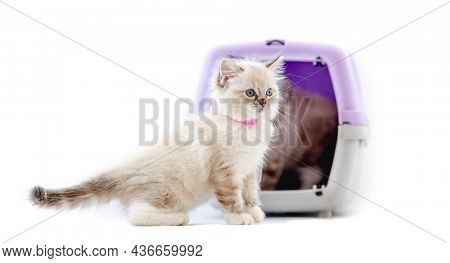 Ragdoll kittens in transportation cell box isolated on white background. Cute purebred kitty pets in cat carrying