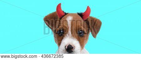 landscape of a cute jack russell terrier dog wearing devil horns against blue studio background