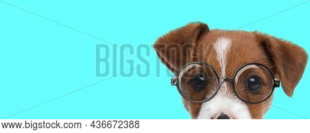 landscape of a cute jack russell terrier dog hiding his face and wearing eyeglasses on blue background