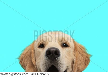 cute golden retriever dog showing only his face at the camera against blue background
